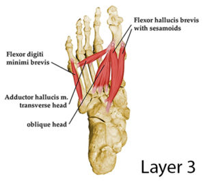 intrinsic foot muscles layer 3
